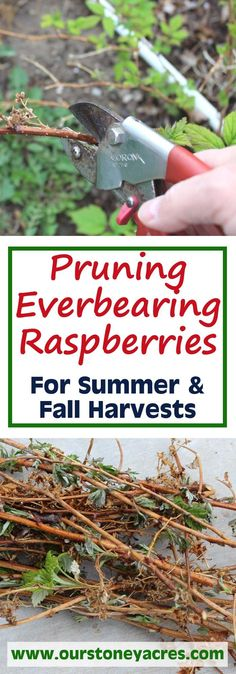 There are 2 methods for Pruning everbearing raspberries, one is simple, the other takes more time. This post will cover both methods of pruning ever-bearing raspberries and I will let you know my preferred method.