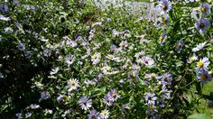 Summer Asters. Mt. Mitchell, NC
