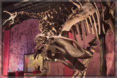 Les hadrosaures Tsintaosaurus (à gauche) et Gilmoreosaurus (à l'avant plan) lors de l'exposition: Dans l'Ombre des Dinosaures.