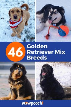 If you decide to have a #Golden #Retriever #Mix #Breeds in your family you will not regret it. Imagine being greeted after work by an excited #Golden #Retriever awaiting a long walk and talk with you. The #fur is so rewarding to wash regularly. It is clean which makes the dog so huggable. #Golden #Retriever #Mix #Breeds enjoy being outdoors as many #doggies do. Let's have a look at the list of #Golden #Retriever #pup #mixes. Labrador Retriever Mix, Dogs Golden Retriever, Cute Dogs Breeds, Dog Breeds, Dalmatian Mix, American Indian Dog, Best Apartment Dogs, Baby Animals, Cute Animals