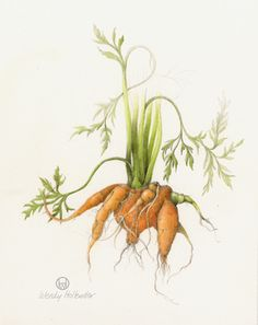 Carrot. From the collection of fruit and vegetable illustrations by Wendy Hollender.
