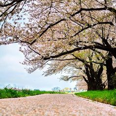 【as_photoworks】さんのInstagramをピンしています。 《Photowork No.42 Canon Photoclinic 2k16, Japan Series #13 That's how an ordinary walkway becomes an extraordinary one when its the cherry blossom season.😍 To the 10 best days of my life so far.. I proudly present my Photoworks from the Canon Photo Clinic 2016, Japan. #ASnaps #LivePhotography  #cherryblossoms #canonasia #canon #canonphotoclinic2016 #discoveringourselves #indiatravelgram #natgeo #offroadsindia #japan #haithait #arigatocanon #indiapictures…