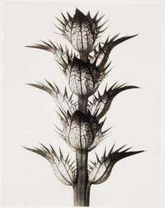 The Photographer Who Magnified the Alien Beauty of Plants. Karl Blossfeldt, Acanthus mollis, bear's breeches, flowering stem with bracts, flowers removed Karl Blossfeldt, Still Life Photography, Nature Photography, Photography Website, Artistic Photography, Natural Form Art, Image Nature, Getty Museum, Land Art