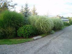 morning light maiden grass - Google Search