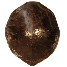 tortoise shell - on my wall right now