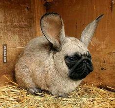 I present you: Pugsbunny! - 9GAG