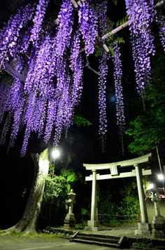 Torii gate with wisteria in Japan
