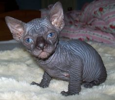 black sphynx | DADDY O SPHYNX =^..^=Breeders of Sphynx & Devon Rex Cats and Kittens ...