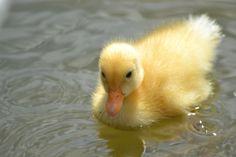 The Happy Shutterbug: Fluffy Duck Pet Ducks, Baby Ducks, Duck Pictures, Cute Animal Pictures, Fluffy Animals, Cute Baby Animals, Cute Ducklings, Animal Magic, Animal Memes