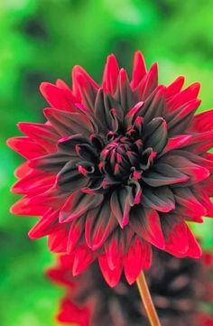 A beautiful Dahlia
