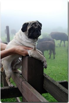 pug - what is this pug doing in the shire???
