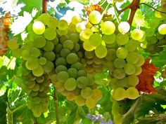 wine grapes | classic european family of wine grapes ready set guess away