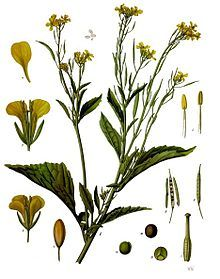Brassica juncea, also known as mustard greens, Indian mustard, Chinese mustard, and leaf mustard, is a species of mustard plant. Subvarieties include southern giant curled mustard, which resembles a headless cabbage such as kale, but with a distinct horseradish-mustard flavor. It is also known as green mustard cabbage.