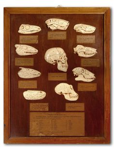 "'This is an original 1920′s display from the ""American Museum of Natural History"". The display was modeled under the direction of Professor William King Gregory. He was a Professor at Columbia University from 1909 and the Museum Curator from 1920. The framed size is 22″ x 28″. There are 10 different example skulls with original paper labels and a detailed key showing the ""Evolution of the Human Skull.""'"