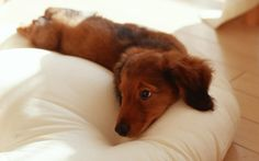 ryan higa's dog marley :) - daschund
