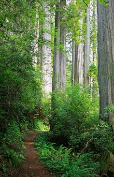 Flint Ridge trail/campground, Redwood National Forest