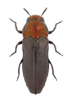 Meliboeus fulgidicollis