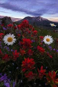 Red flowers and a twilight mountain