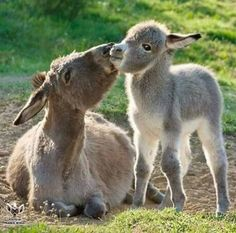 Mom and baby donkey.awww like me and Logan ; Baby Donkey, Cute Donkey, Mini Donkey, Baby Cows, Mini Pigs, Baby Elephants, Cute Baby Animals, Farm Animals, Animals And Pets