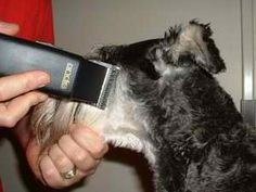 Pinning this for my hubs - how to groom a schnauzer :)
