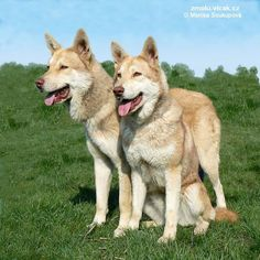 The Netherlands. Saarlooswolfhond  (Saarloos Wolfdog) light
