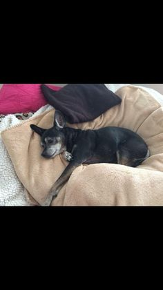 OptionsShareSendLike Mobile Uploads 4of10  Lost & Found Pets of Norwalk, Conn. Page Liked · August 17 · Edited ·    _+_+_+_+_ UPDATE! REUNTED! _+_+_+_+_  ** ALERT LOST DOG NEAR VETS PARK ** 14 YEAR OLD CHIHUAHUA MINI PIN MIX NAME IS HUGO. NO COLLAR ON WHEN HE GOT LOOSE **