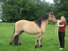 The Highland Pony is a breed of domestic ponies that developed in Scotland. This is an extremely old breed, and is known for its commendable hardiness and Pony Breeds, Horse Breeds, Highland Pony, Barrel Horse, Clydesdale, Trail Riding, Show Jumping, Dressage, Beautiful Horses