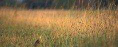 Nature Today | Op zoek naar de mysterieuze kwartelkoning