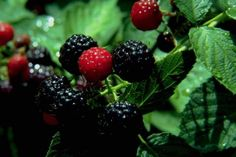 Would LOVE organic berry bushes. Lazy Vegetable Gardening-Perennial Plants for your Herb, Fruit and Veggie Garden for Zones Perennial Vegetables, Organic Vegetables, Growing Vegetables, Fruits And Vegetables, Lazy, Fruit Garden, Edible Garden, Vegetable Garden Design, Vegetable Gardening