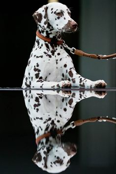 Seeing spots  Chimmi the Dalmatian looks at his own reflection before a pedigree dog exhibition in Nuremberg, Germany