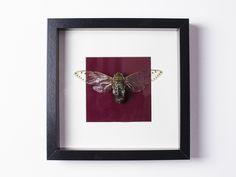 Entomology - Cicada Pomponia Intermedia