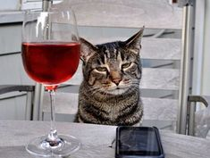 The short answer is cats absolutely cannot safely drink alcohol. The American Society for the Prevention of Cruelty to Animals (ASPCA) is quite blunt about it being one of the substances that you should never let a cat have. Funny Cats, Funny Animals, Cute Animals, Crazy Animals, Drunk Cat, Top 10 Image, Wine Images, Cat Wine, What Cat
