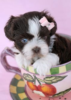 Tiny Shih Tzu Puppy by TeaCups, Puppies & Boutique