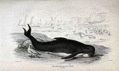 Pencils 1800s whales sperm