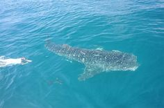 Mote shark researchers tag a whale shark off Sarasota, Fla., in the Gulf of Mexico on May 28, 2010. Photo by Kim Hull/Mote Marine Laboratory