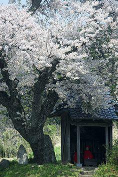 Ozawa sakura #japan #fukushima