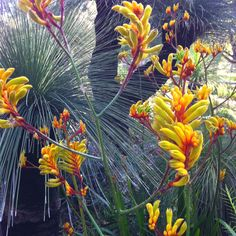 The yellow flowers are called Kangaroo Paw, but I really like the blue grasses in the back. Australian Native Garden, Australian Native Flowers, Australian Plants, Rock Garden Plants, Garden Types, Plant Design, Garden Design, Australia Landscape, Australian Wildflowers
