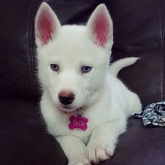 Bella ❤ White Siberian Husky Puppy With Blue Eyes