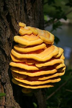 Laetiporus sulphureus is a species of bracket fungus(fungi that grow on trees) found in Europe and North America. Its common names are crab-of-the-woods, sulphur polypore, sulphur shelf, and chicken-of-the-woods. Edible Wild Mushrooms, Growing Mushrooms, Stuffed Mushrooms, Mushroom Identification, Plant Identification, Chicken Of The Woods, Slime Mould, Mushroom Hunting, Mushroom Fungi