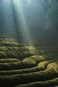 Green tea field Bosung South Korea. #TeaField