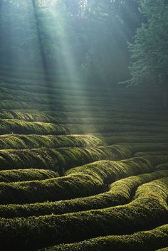 Green tea field Bosung South Korea. #TeaField