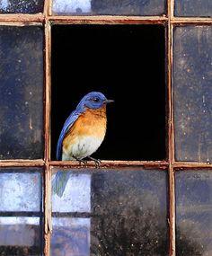 broken pane / eastern bluebird  by R Christopher  Vest
