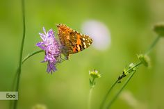 Photograph Painted lady butterfly by Jivko Nakev on 500px