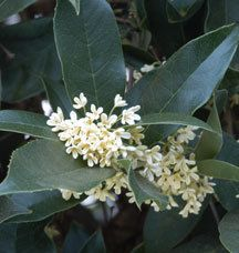 Sweet tea olive evergreen shrub - 10' blooms fall and spring