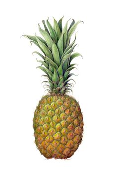 Pineapple in Colored Pencil on Watercolor Paper Fine Art Print via Etsy