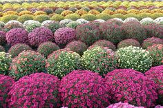 Colorful Chrysanthemums Spheres