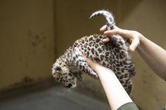 Korkeasaari julkisti ensimmäiset kuvat harvinaisesta amurinleopardin pennusta - Korkeasaari - Kaupunki - Helsingin Sanomat