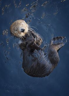 Otter teaches: Playfulness, joy, togetherness, curiosity, awakening, creativity, imagination, healing wisdom, awareness, faithfulness, love of the young, life can be fun with the right attitude, do something special to awaken the joy in your life. Otter teaches the power of the feminine and the balance that is needed for the masculine side.  Make time to awaken your inner child and remember that natural joy. #playfulness