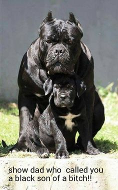 Dog Breeds Cane Corso - father and son - Presa Canario or Canarian dog is a race that is becoming more popular among dog lovers . Giant Dogs, Big Dogs, Cute Dogs, Dogs And Puppies, Funny Dogs, Cane Corso Puppies, Cane Corso Dog, Cane Corso Italian Mastiff, Beautiful Dogs