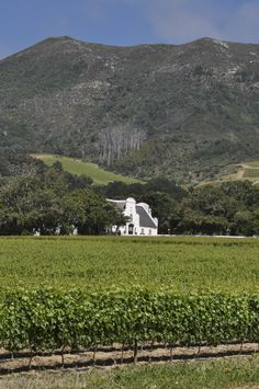 Walking in the vineyards Groot Constantia, Cape Town (Photo: Tracey-Leigh Lawson)